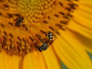 bee-pollen528262561