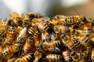 honey-bees-326334_640