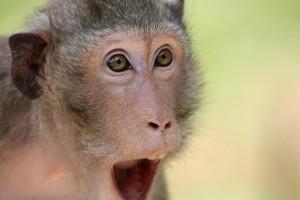 the-monkey-409407_640