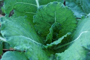 cabbage-1374870_640