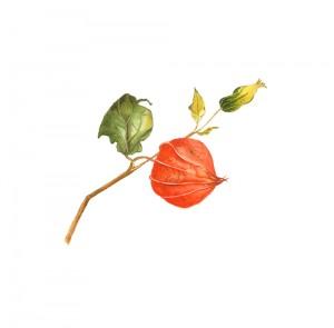 golden-berry05449