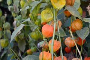 golden-berry34570