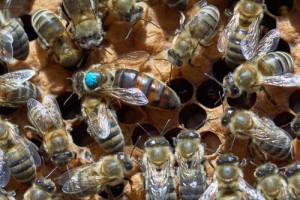 queen-bee5343927