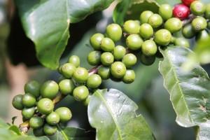 green-coffee39110819