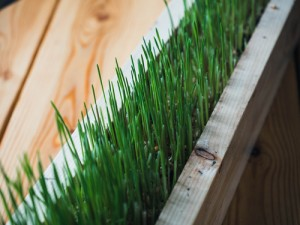 wheatgrass37193672