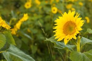 suflower-oil535755943