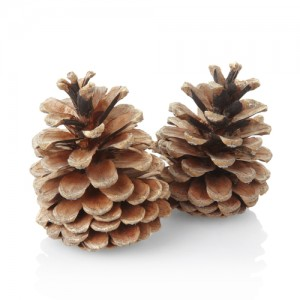 Pine-nuts3