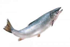 salmon22