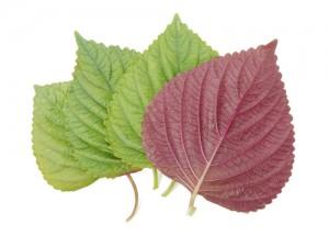 shiso-leaves1