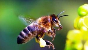 Black-bees5-caucasus