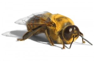 bee-male645252