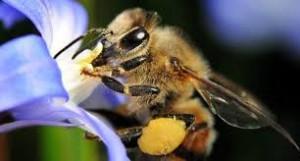 german-bee