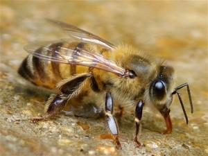 russian-bee
